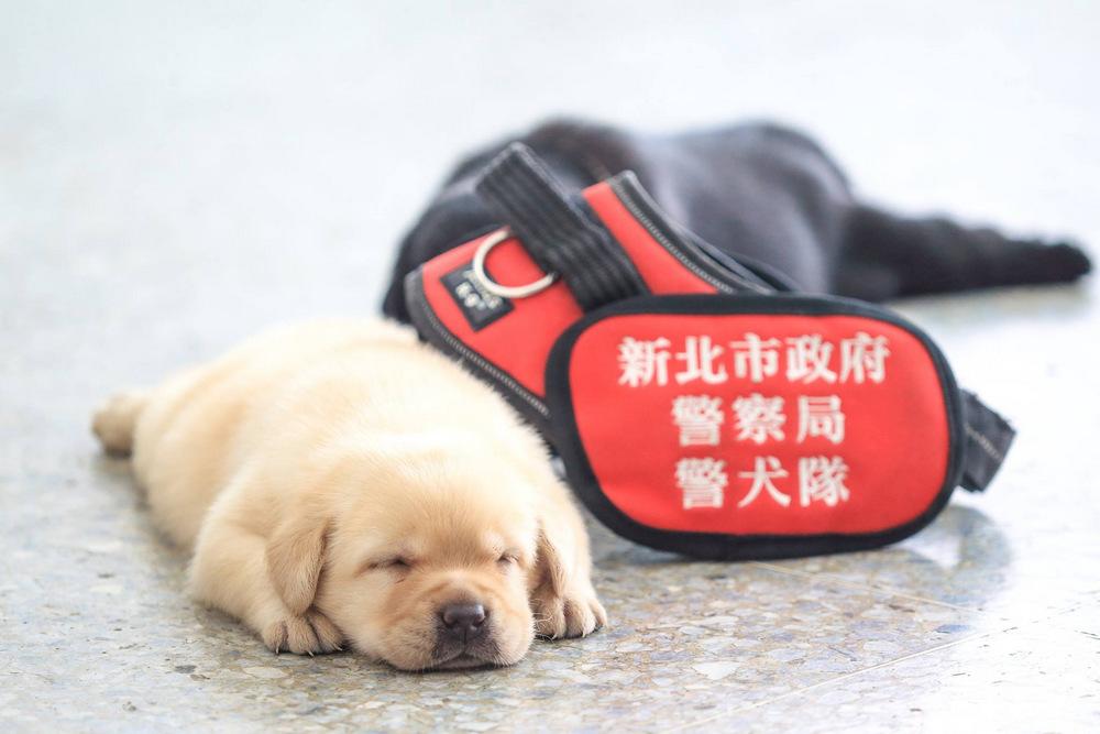 schenki-labradory-politsii-Tayvanya_12