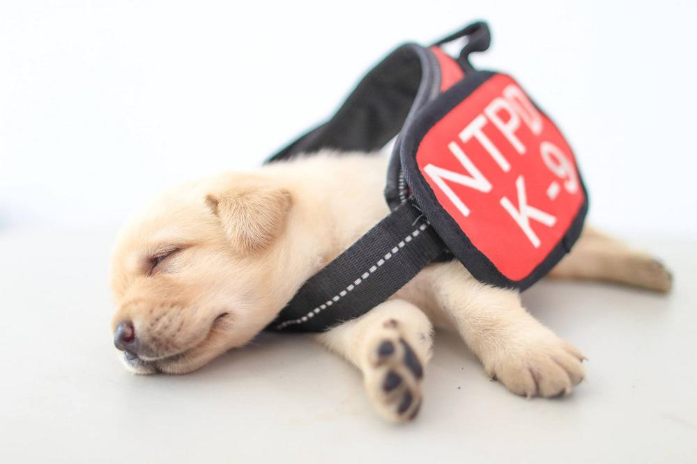 schenki-labradory-politsii-Tayvanya_4