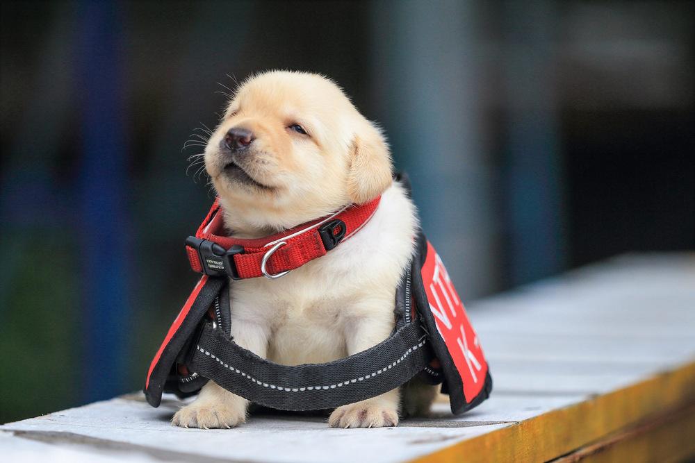schenki-labradory-politsii-Tayvanya_7
