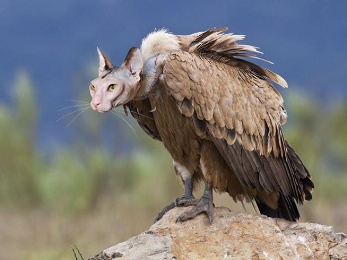 The-Internet-has-transformed-felines-and-birds-into-hybrid-animals-59b9d62d9e8ee__700