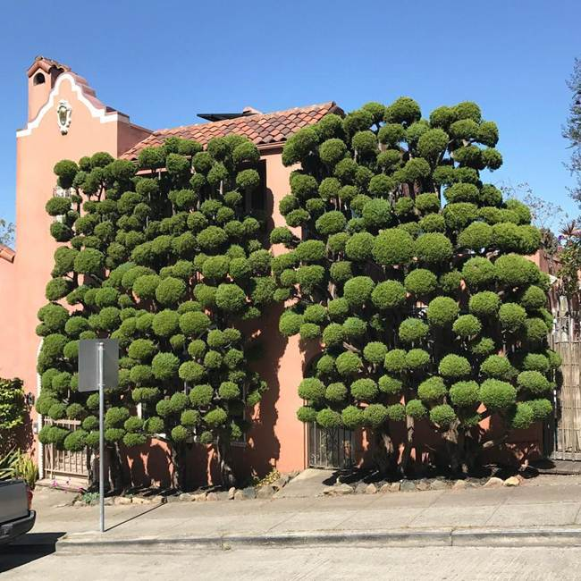 topiary-trees-of-san-francisco-001