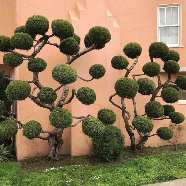topiary-trees-of-san-francisco-005