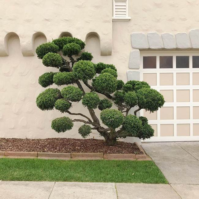 topiary-trees-of-san-francisco-010