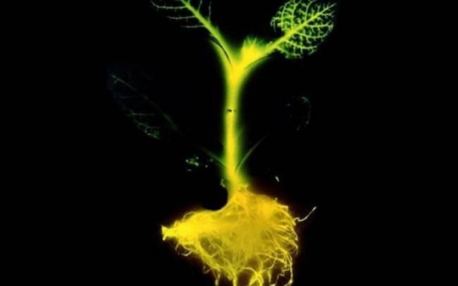 5-phosphorescent-plant