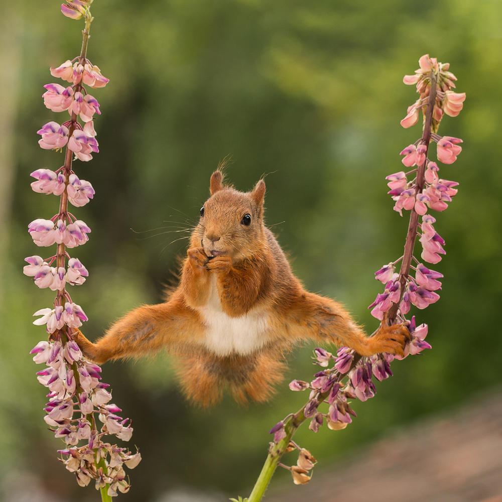 red squirrel standing between 2 lupine flowers with spread legs
