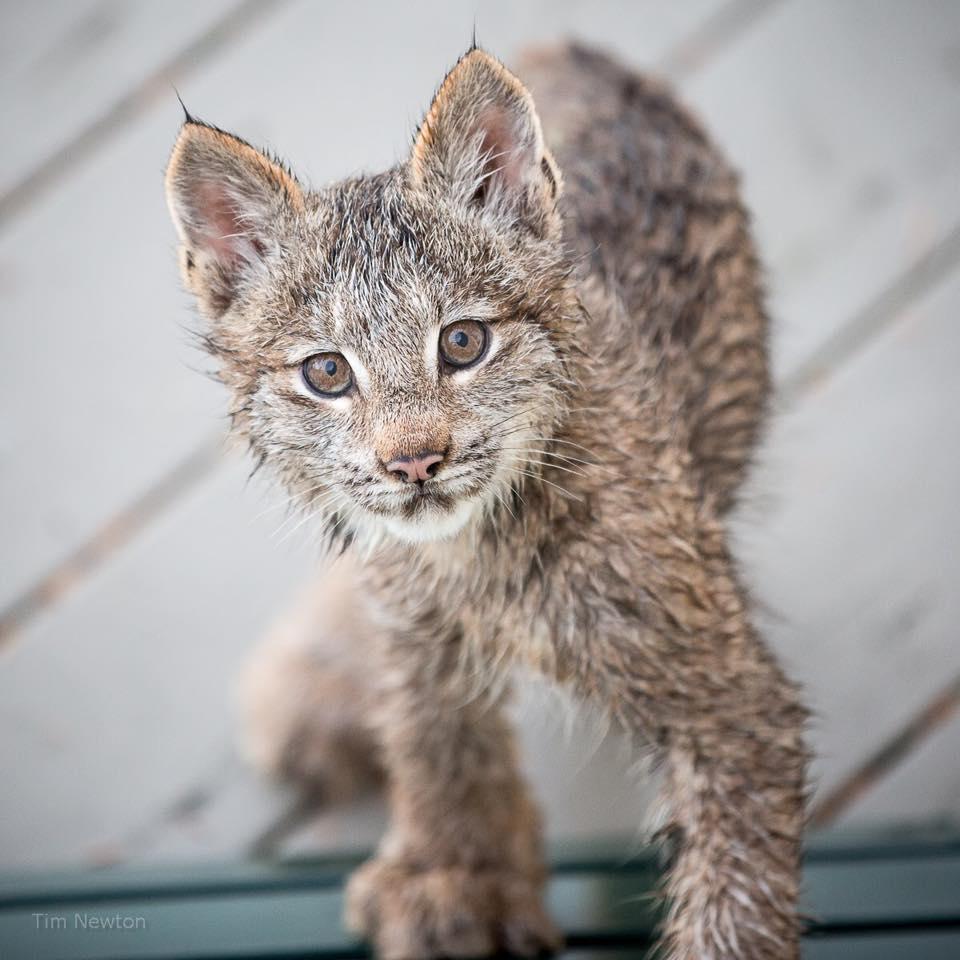 Lynx_10