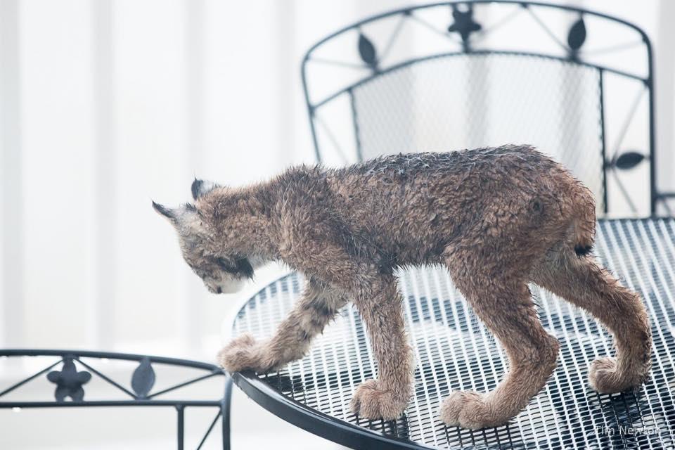 Lynx_5