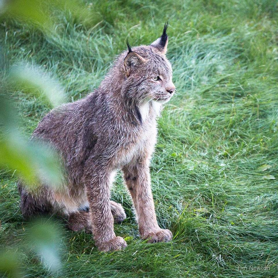Lynx_9