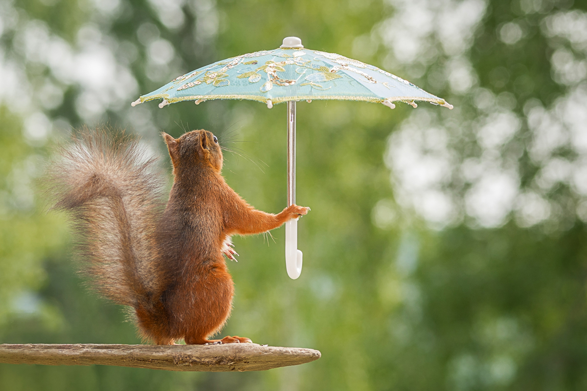 red squirrel holding a umbrella