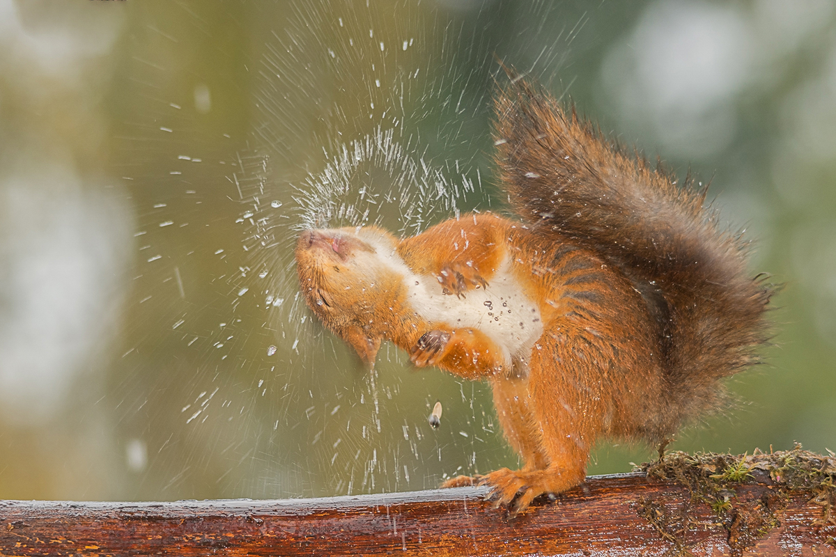 red squirrel shaking out water