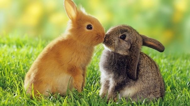 two dwarf rabbits - smooching restrictions:Tierratgeber-Bücher / animal guidebooks, puzzles worldwide, mobile phone content worldwide