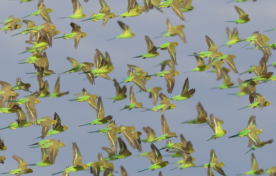Удивительное зрелище: 10 000 попугайчиков на водопое