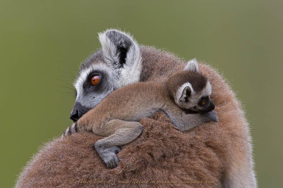 Ring-Tailed Lemur, Khao Kheow Open Zoo, Chonburi, Thailand