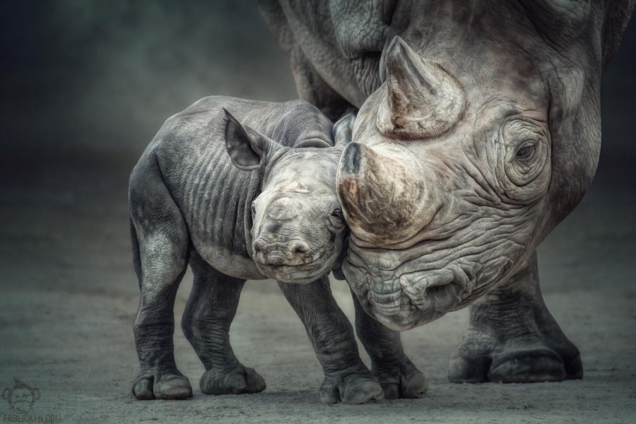"When you love, you are vulnerable, but continue. It is your love that makes sure that this earth has a future Rhino mother Nane and her little baby affectionately make contact with one another. The mother-child relationship is established. The little bundle of joy is becoming more curious about her surroundings every day (born in 13. Juli 2013 at Krefeld Zoo)! The five-day-old ""Hörnchen"" – a species which is classed by conservationists as critically endangered - is the fourth calf of Nane. Her arrival is another step towards sustaining a black rhino population which, in the wild, has been devastated by poachers."