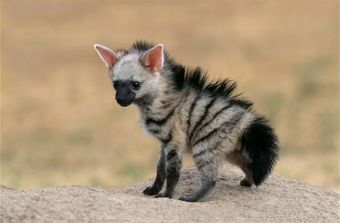 cute-wild-animals-aardwolf-1-5a128c18e52e6__700