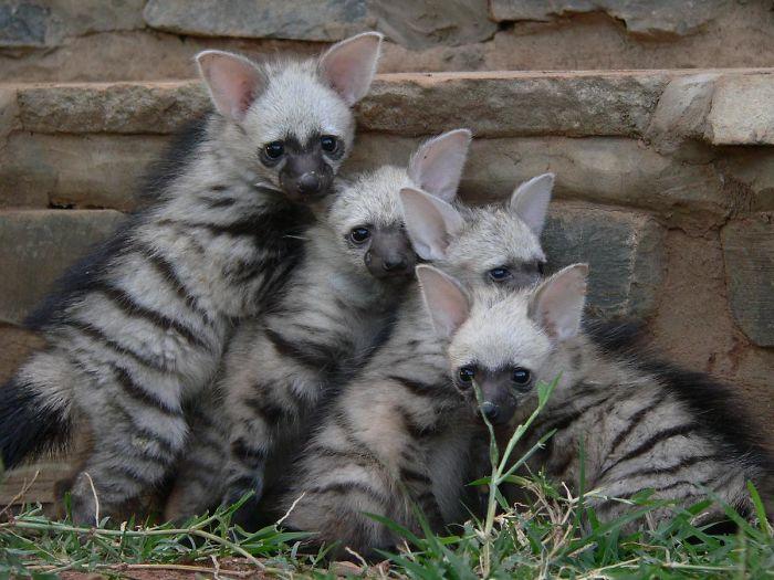 cute-wild-animals-aardwolf-5-5a128ec3f38ab__700