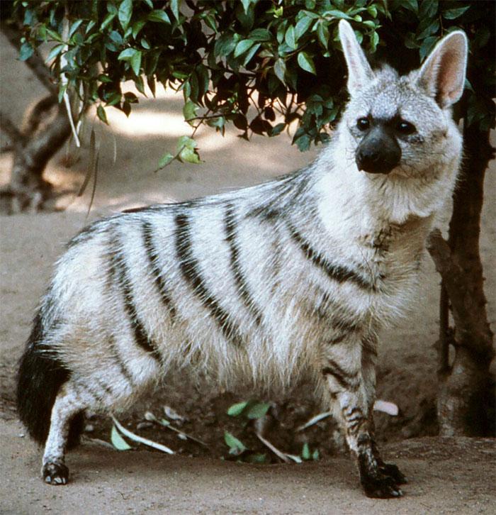 cute-wild-animals-aardwolf-5a1298f97d488__700