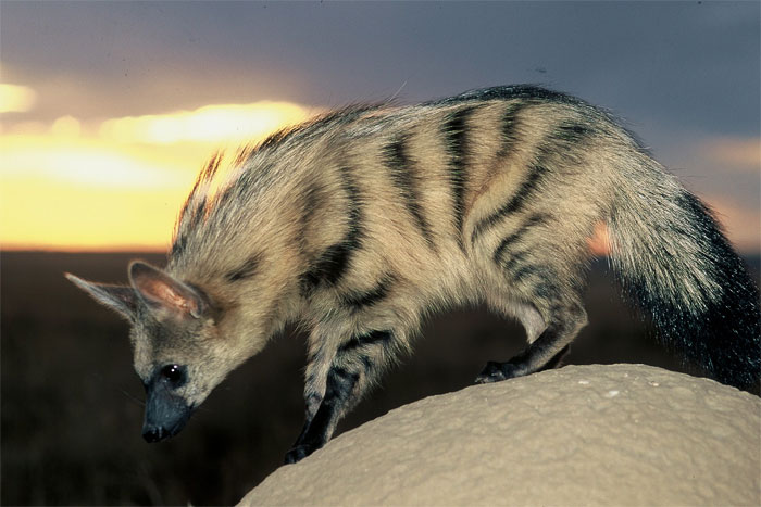 cute-wild-animals-aardwolf-5a1299db33cc6__700