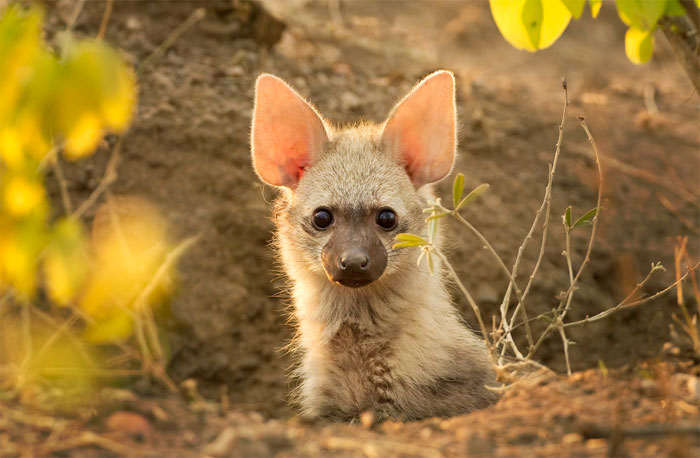 cute-wild-animals-aardwolf-5a129a2aae581__700