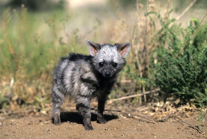 cute-wild-animals-aardwolf-6-5a128fc290094__700