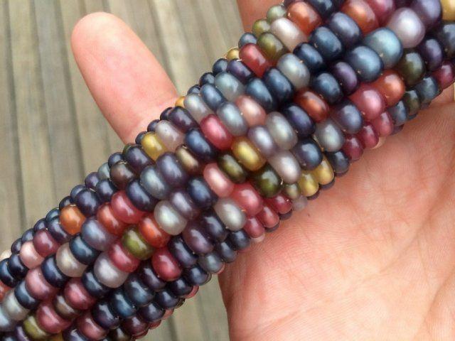 Glass Gem цветная кукуруза: миф или реальность