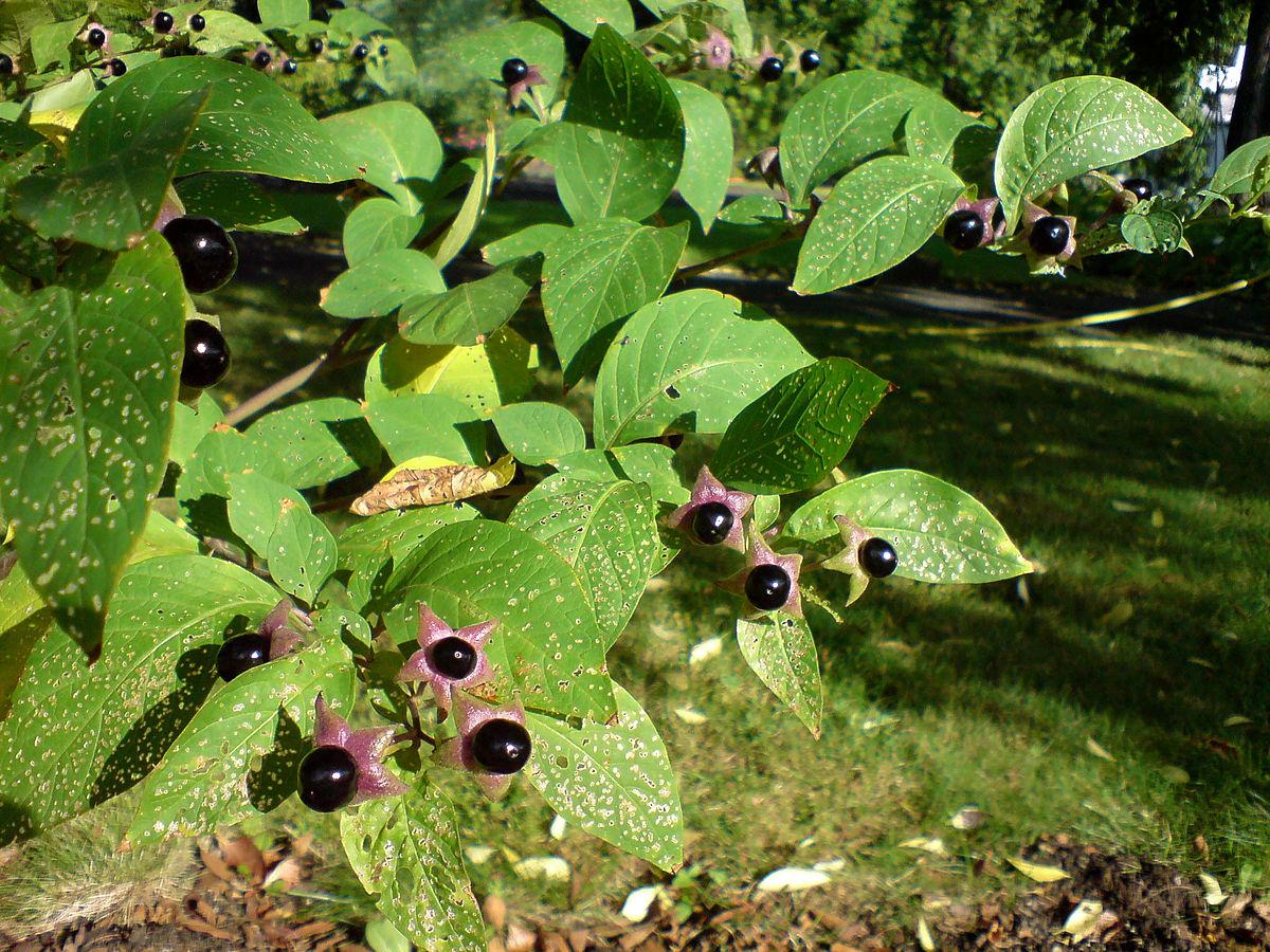 Белладонна - ядовитое растение. Раньше ею натирали наконечники стрел и использовали в качестве орального яда.