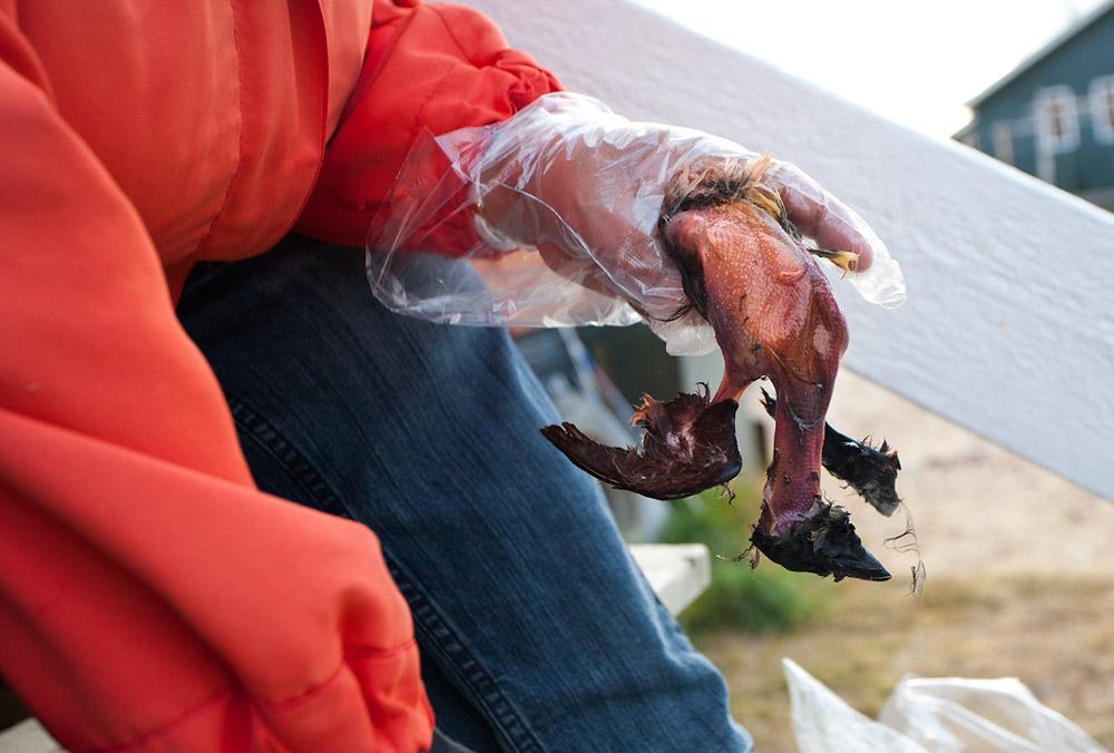 Деликатес на любителя – Кивиак: любимое блюдо эскимосов