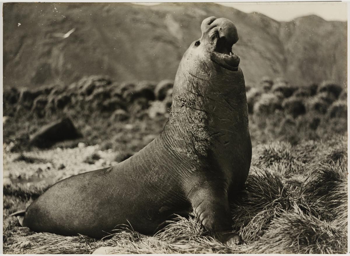 Antarctica_1911_fotograf_Frank_Hurley_34