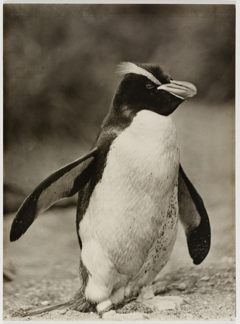 Antarctica_1911_fotograf_Frank_Hurley_38