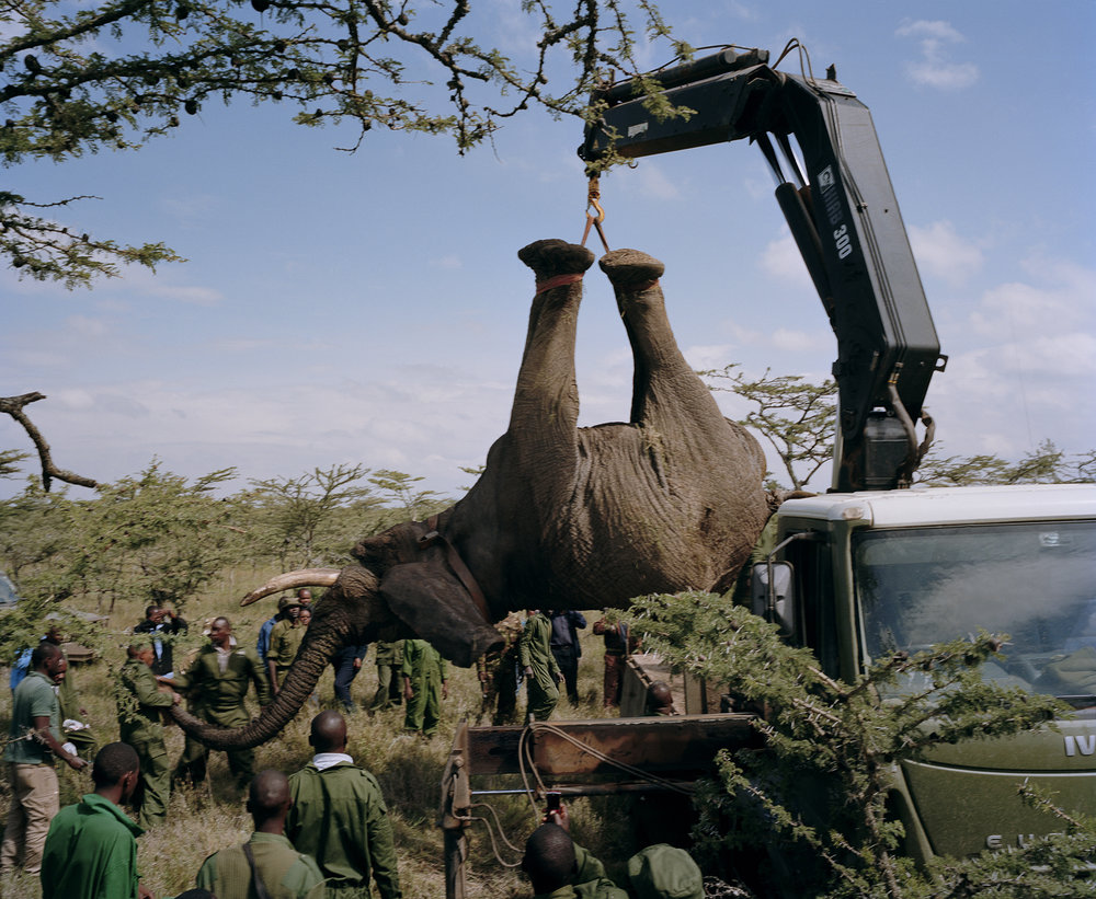 elephant relocation # II, ol pejeta conservancy, northern kenya-