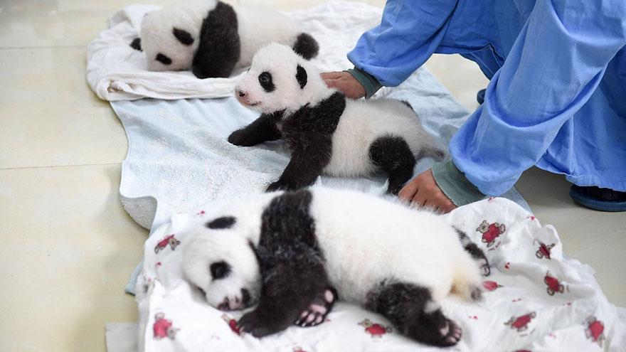 Китай: ясли для пандят