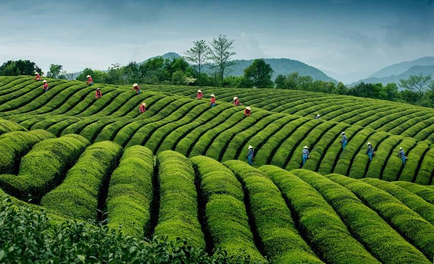 Чайные волны, Китай