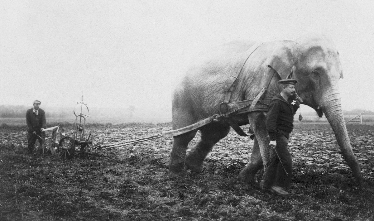 Слона из бельгийского зоопарка заставляют работать на ферме в Бельгии во время Первой мировой войны, 1915 год. Фото: Adoc-photos/Corbis