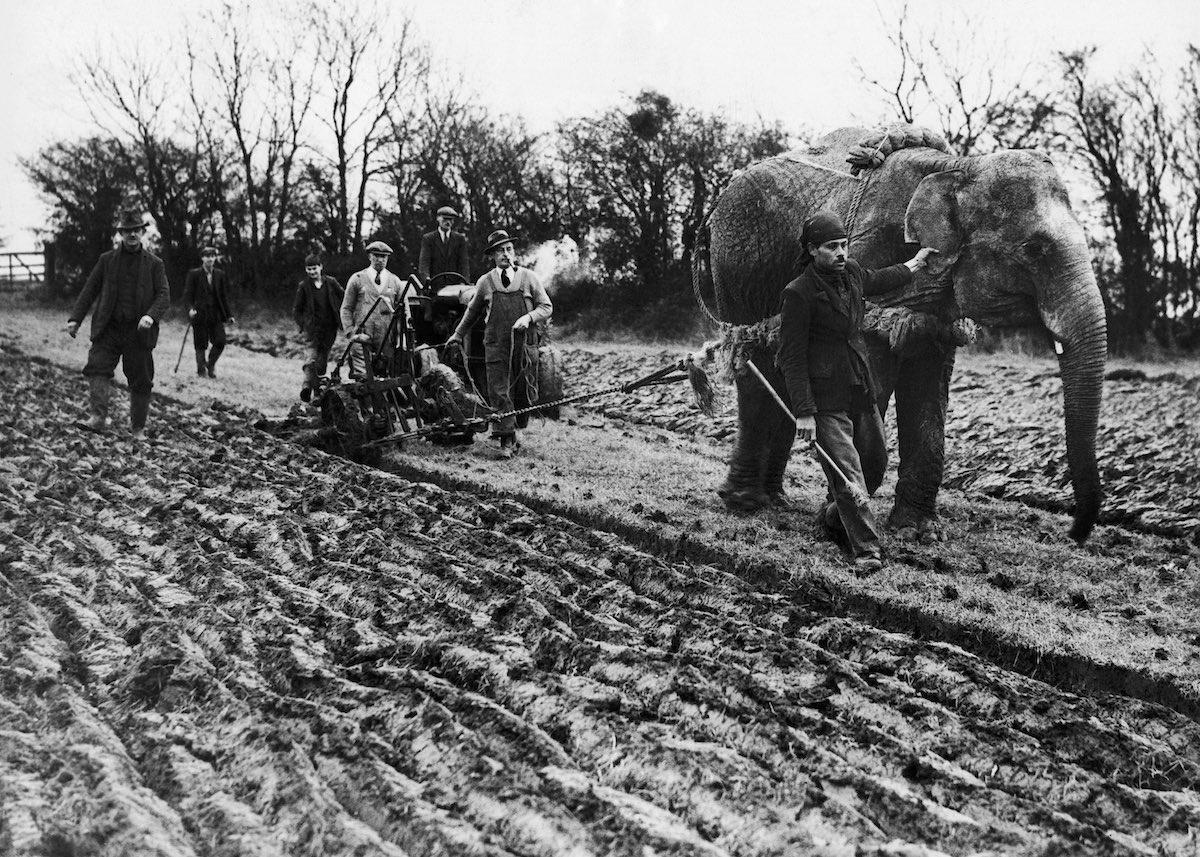 Слон Малыш из цирка Роберта Фоссета вспахивает землю неподалёку от Таустера, в северной Англии, 1939 год. Фото: Keystone-France/Gamma-Keystone/Getty Images