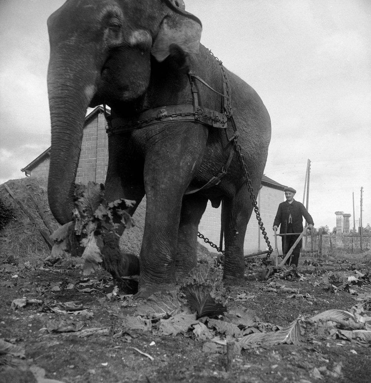 Слон из цирка Амар тянет плуг в поле оккупированной Франции, 1941 год. Фото: Пьер Джахан/Роджер Виоле/Getty Images