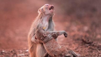 Скорбь от потери сородича: съемка с робота-обезьяны