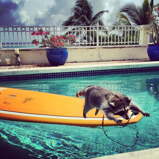 Когда енот растет с собаками: история милашки Памкин