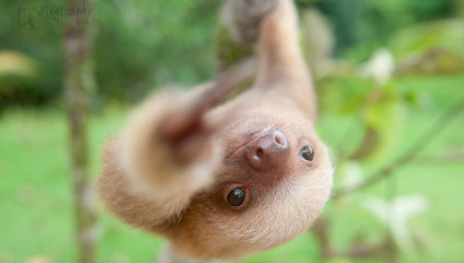 Крошки-ленивцы: спасение и помощь малышам
