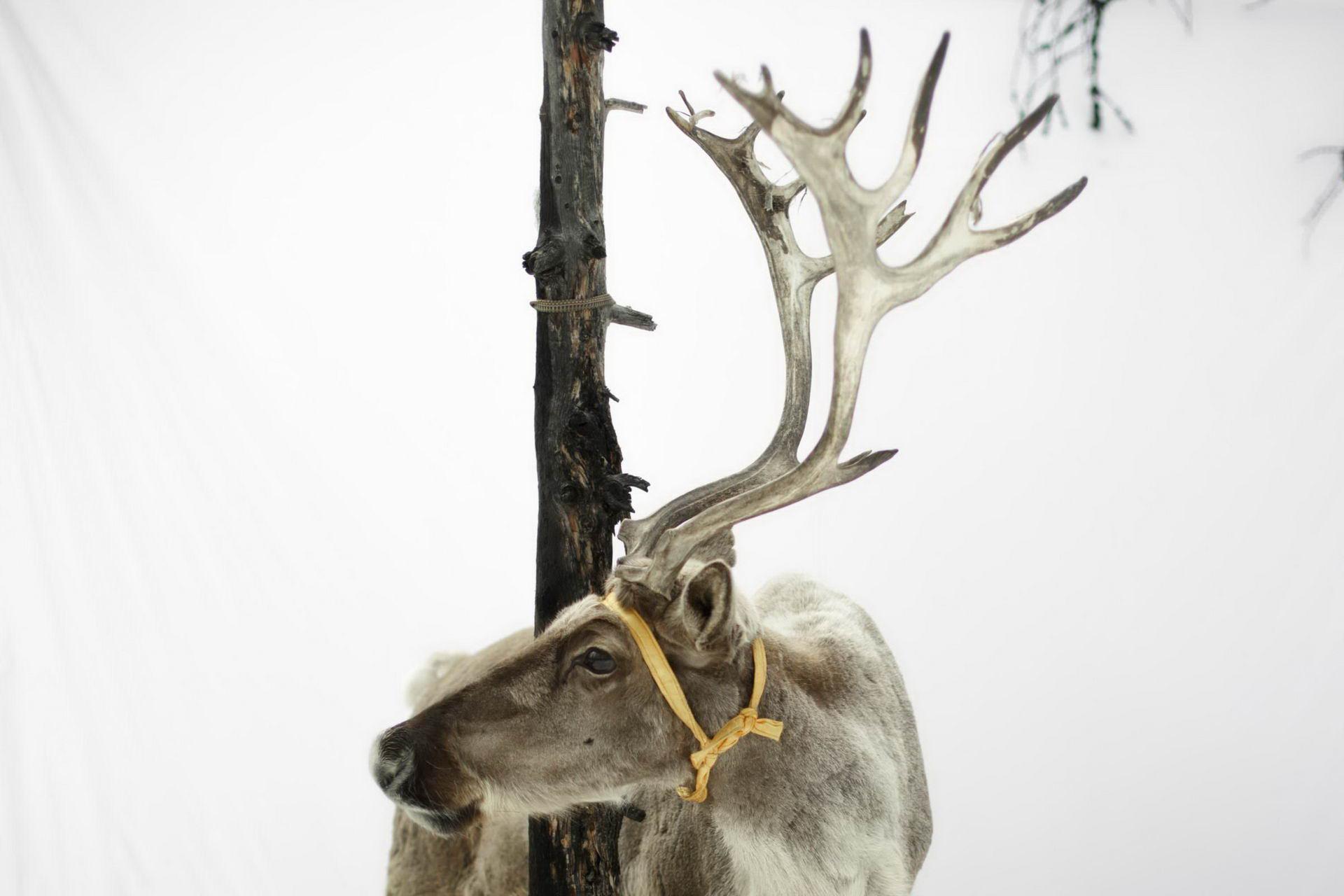 1527770363_mongolia_reindeer_herders_fear_lost_identity_002453_003