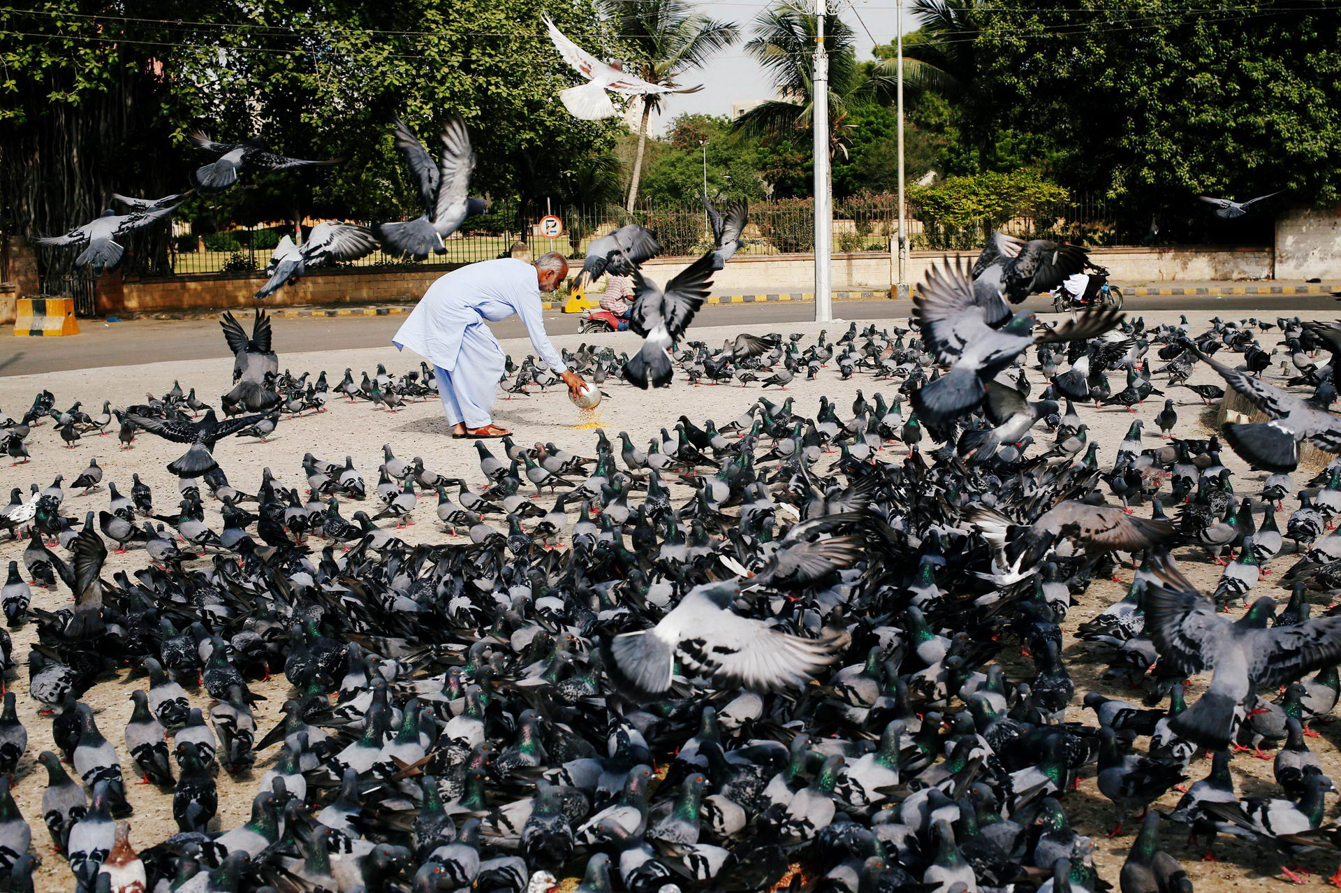 A man spreads a bucket of lentil feed for pigeons, as many believe feeding pigeons brings good luck, after Friday prayers during the holy month of Ramadan in Karachi