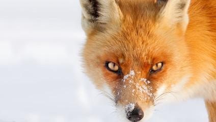 Все оттенки рыжего: зима и лисы