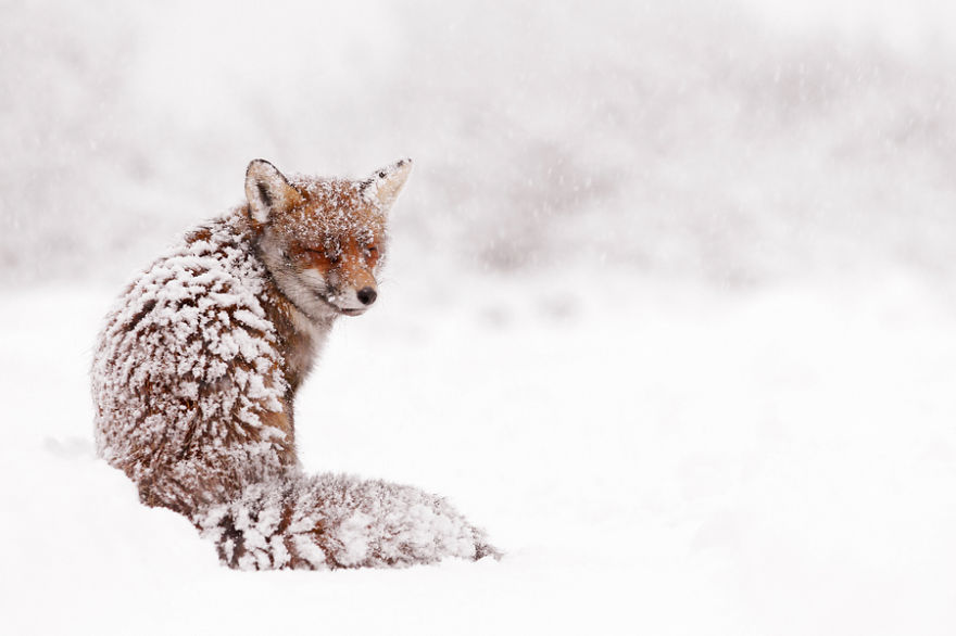Name: Vulpes vulpes Location: The Netherlands – Amsterdamse Waterleidingduinen Description: A fox sitting in the snow as if it just doesn't really know what to do in this particular situation.  Or maybe it was just as surprised as I was to find another creature in these quite uncommon and uncomfortable weather circumstances. Details: Lying in the snow. Handheld.