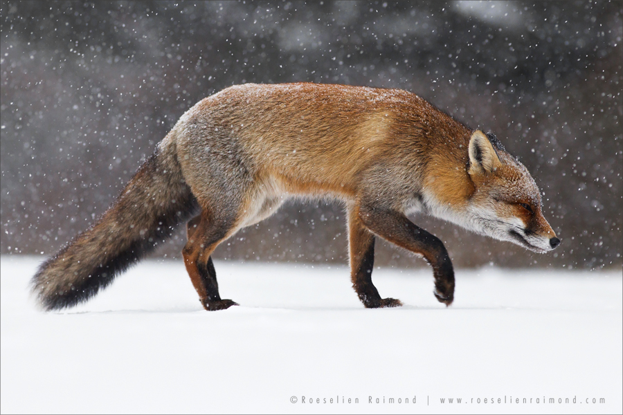 Red fox (vulpes vulpes) trotting through a snowshower on a cold and grey winter day.