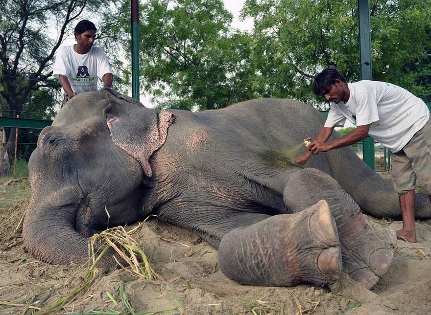 Полвека в кандалах: душераздирающая история слона Раджи