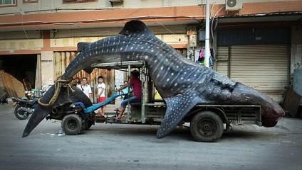 Рыбак поймал у берегов Китая огромную китовую акулу