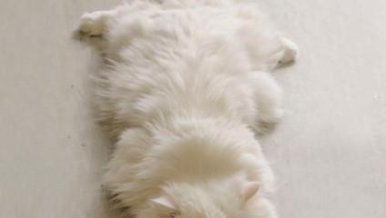 10 самых пушистых кошек
