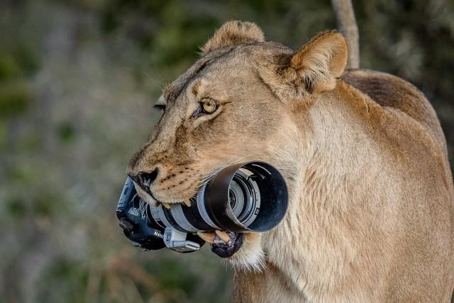 Поменялись местами: львица стащила камеру у фотографа