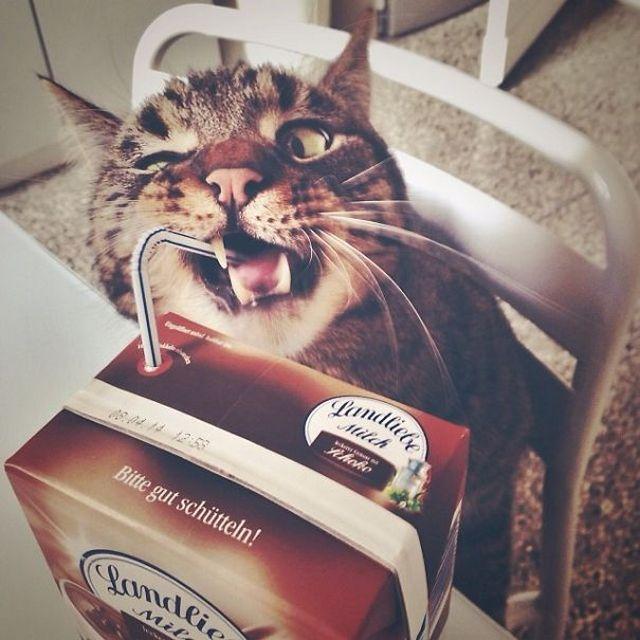 Мелкие воришки: забавные фотографии котов
