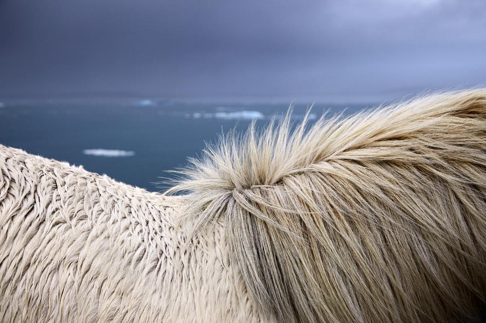 loshadi-Islandii-fotograf-Dryu-Doggett_19