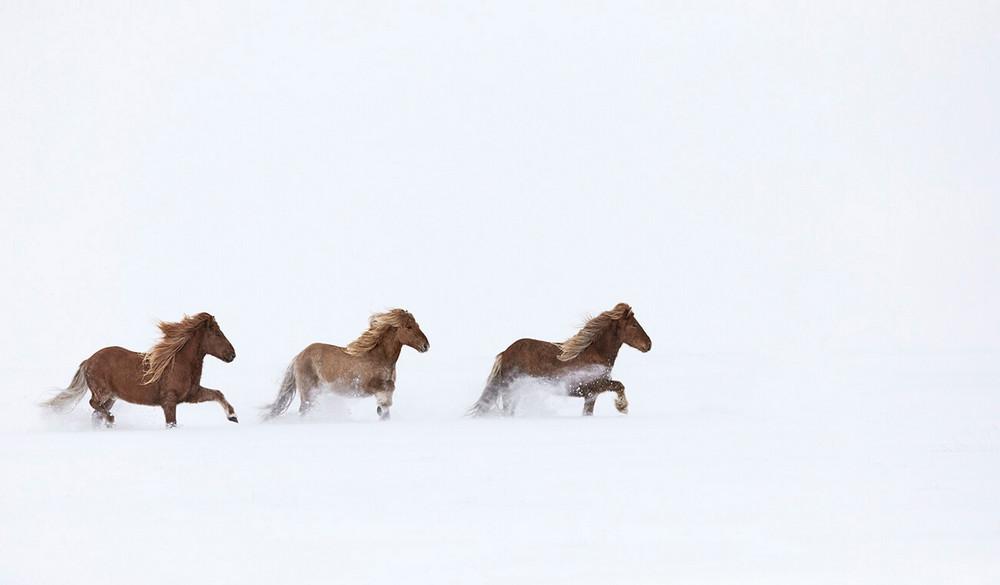 loshadi-Islandii-fotograf-Dryu-Doggett_2